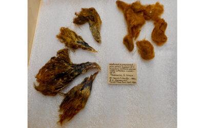 Vier Faserbärte und gereinigte Muschelseide
